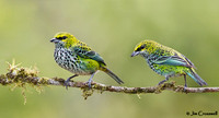 Speckled Tanagers